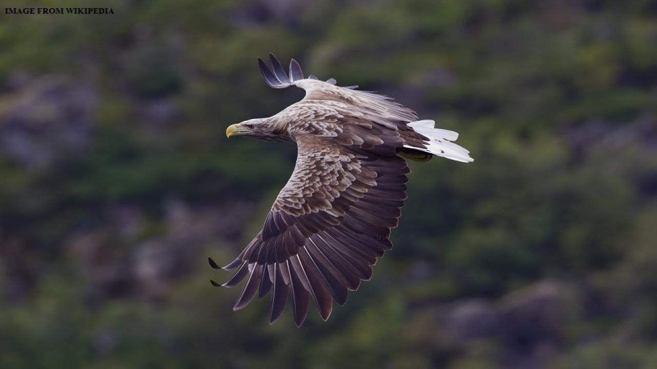 white take eagle, saam tv, nashik migrating birds