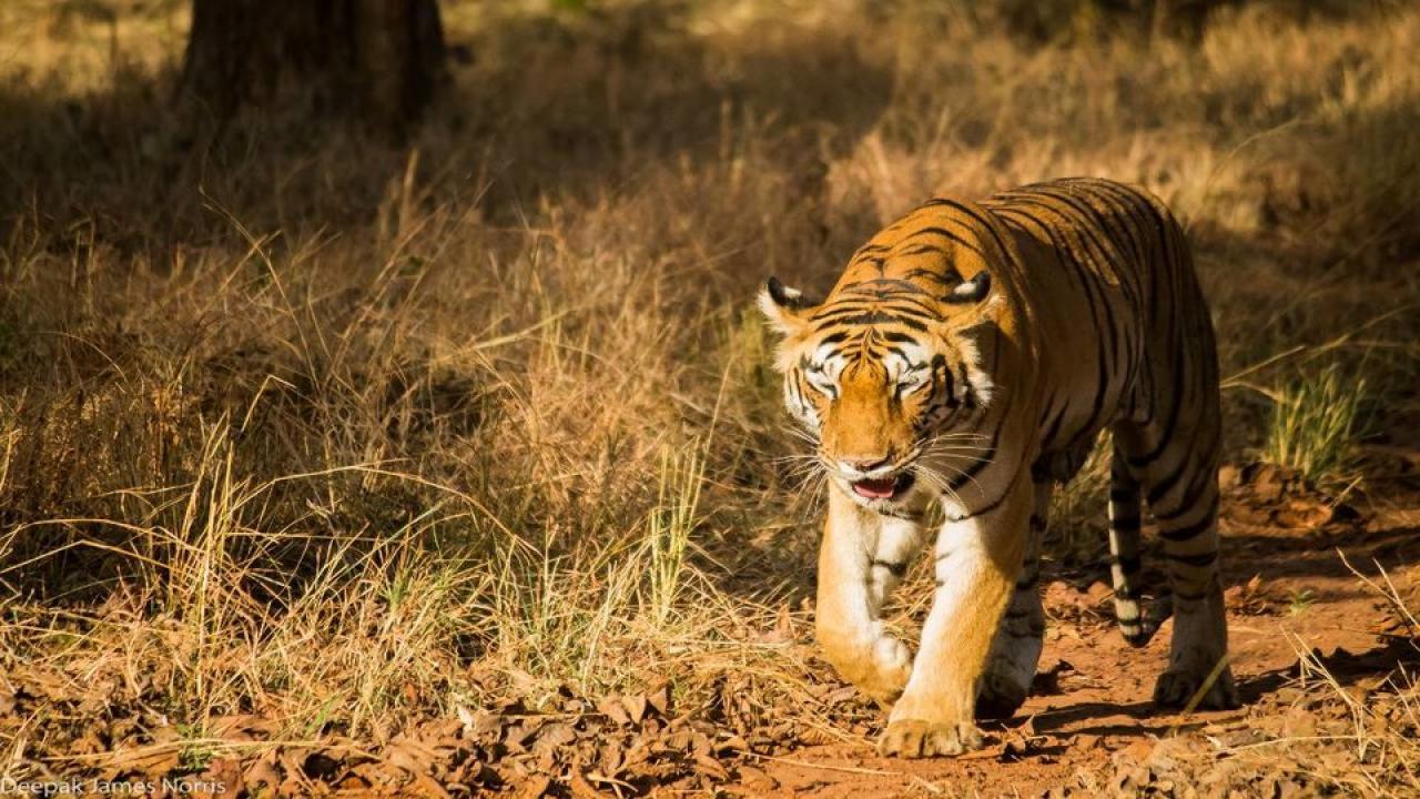 Tiger, Tiger Safari, Maharashtra