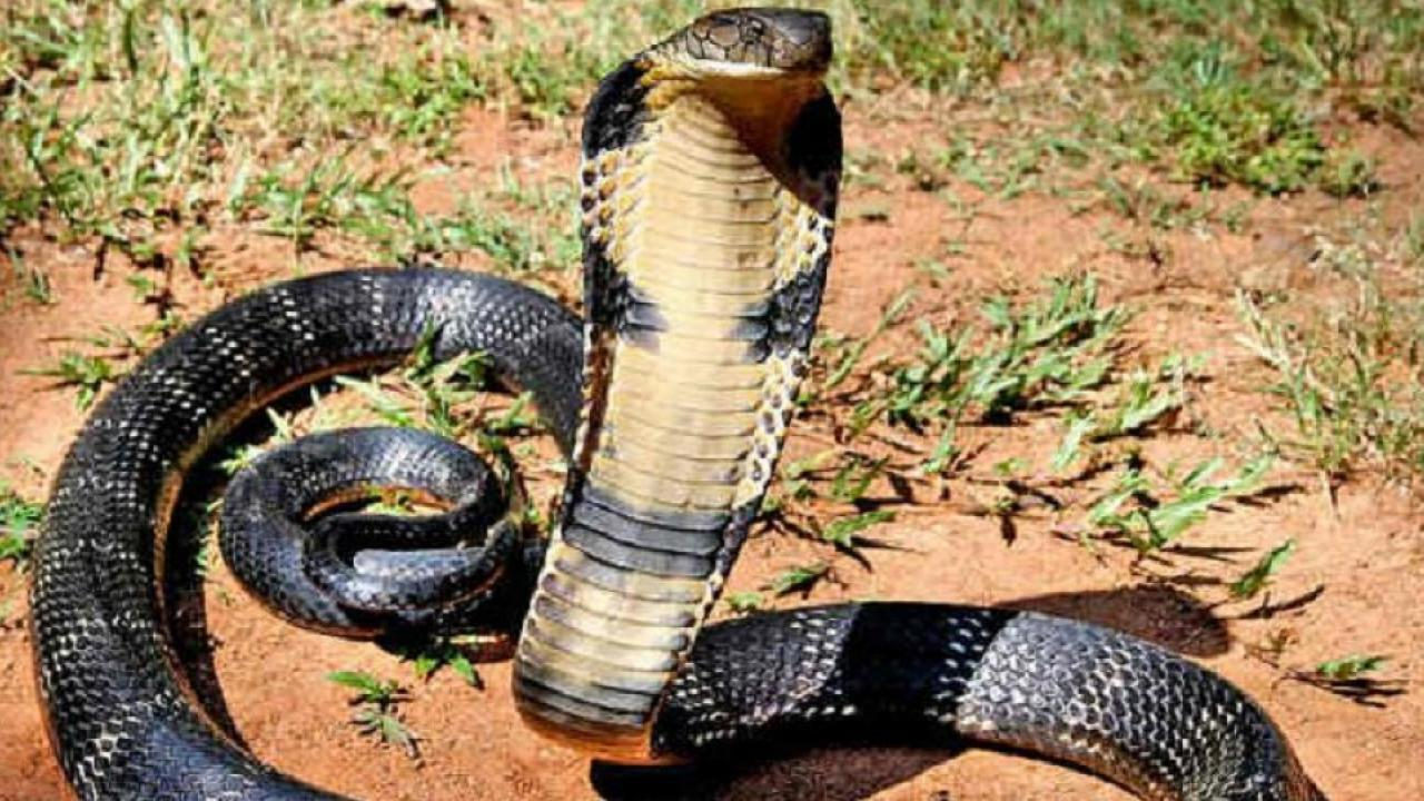 king kobra, odishi cobra