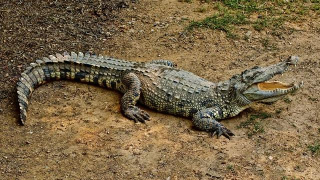 Crocodile , Pet Crocodile , Spotlight, Marathi News