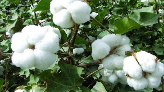 HT cotton,