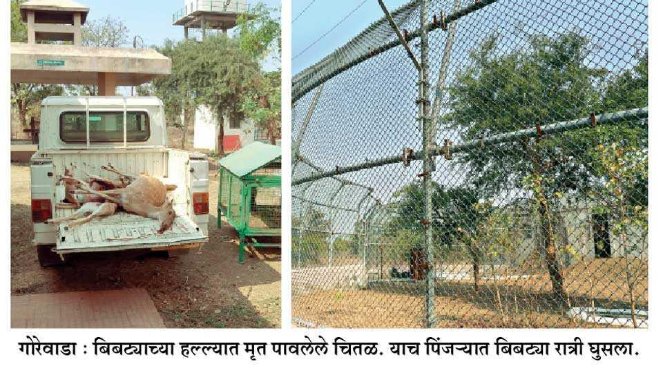 cage leopard, nagpur