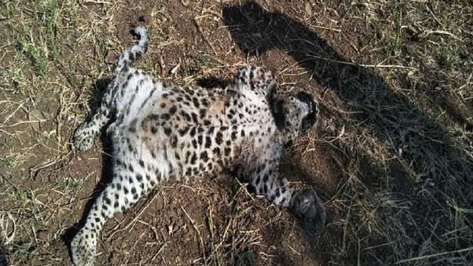 leopard, bhor, marathi news, bibtya