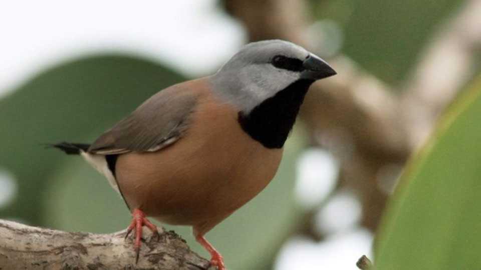 Australis Bird