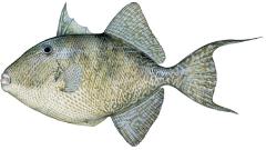 trigger fish, ratnagiri