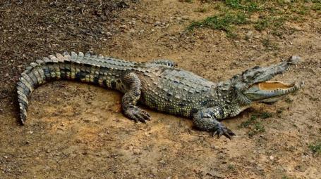 Crocodile , Pet Crocodile , Spotlight, Marathi News