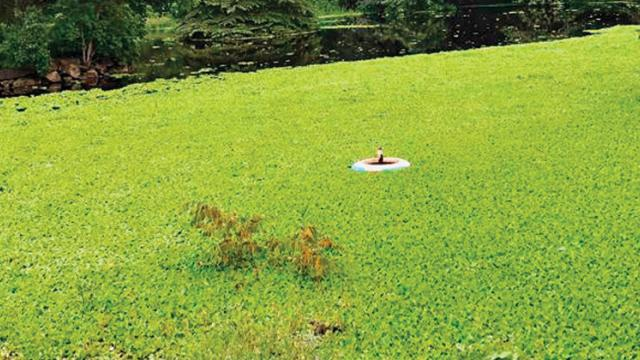Experts divided over clearing of hyacinth covering Lakaki Lake
