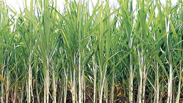 Sugarcane straws in the political wind