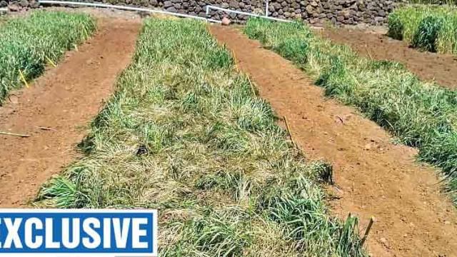 Cold wave damages wheat research crop
