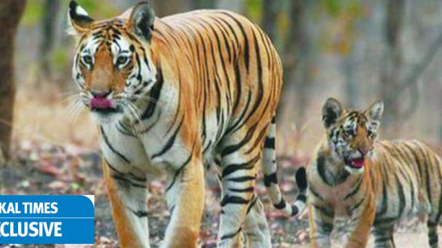 Decision on tigress Avni's cubs' release likely in Dec