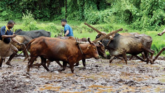 Farmers use bullocks to plough their fields at a village in Konkan. Farmers are now gearing up for sowing after witnessing good rain this season.