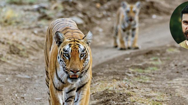 THE CAT TIGER AT KANHA