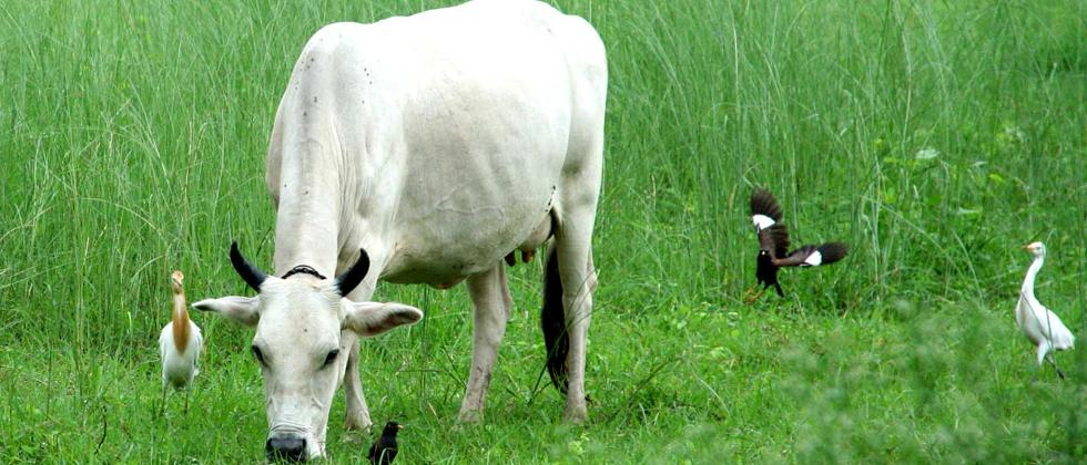 How India's cows can save the earth