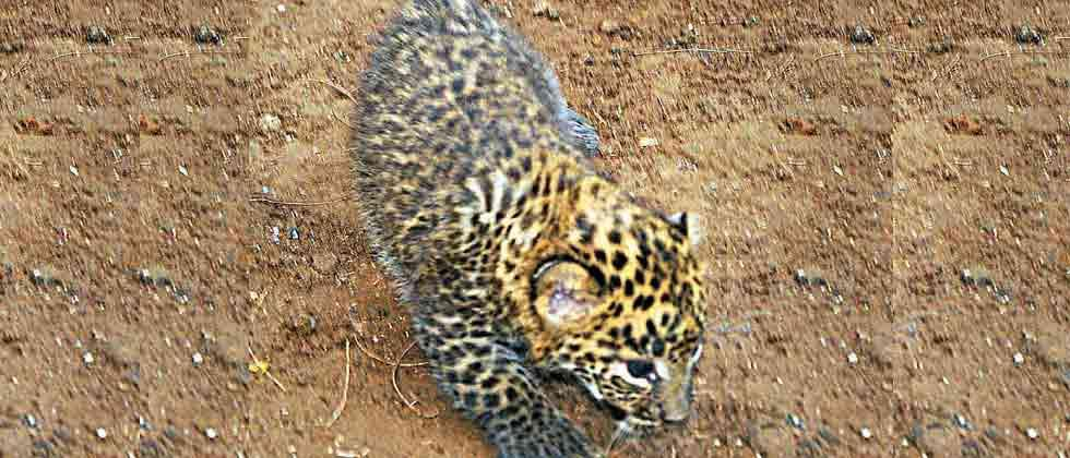 Five leopard cubs charred to death