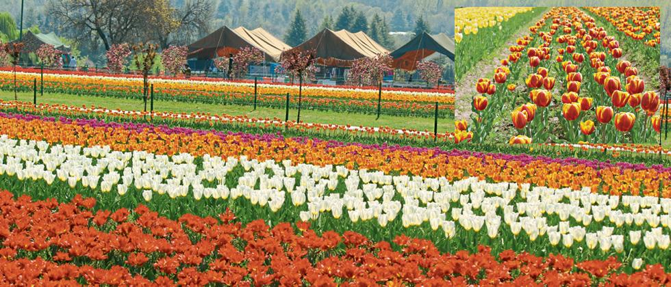 When Srinagar becomes more colourful...