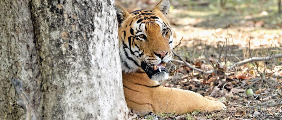 THE KING: Umarpani male has killed several other tigers in territorial fights