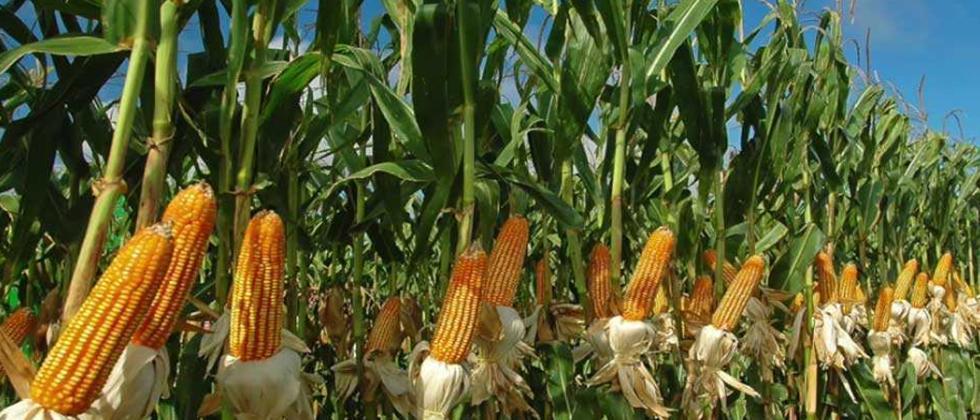 Maize farmers worried as FAW seen in Sangli & Aurangabad