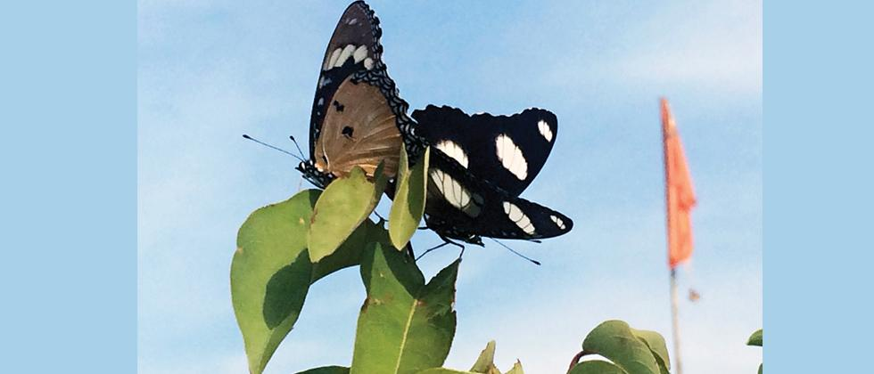 Bid to make butterflies more local