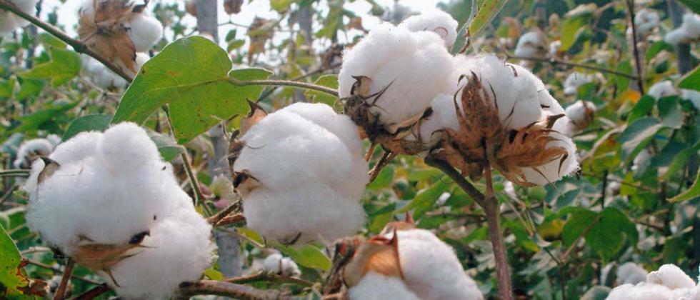 115 'cotton growing' talukas to get funds for textile mills