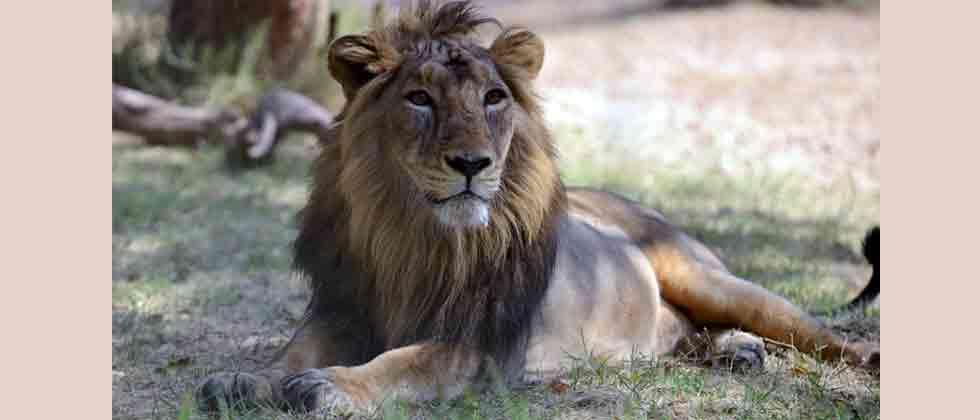 Gujarat starts vaccination of Gir lions against deadly virus