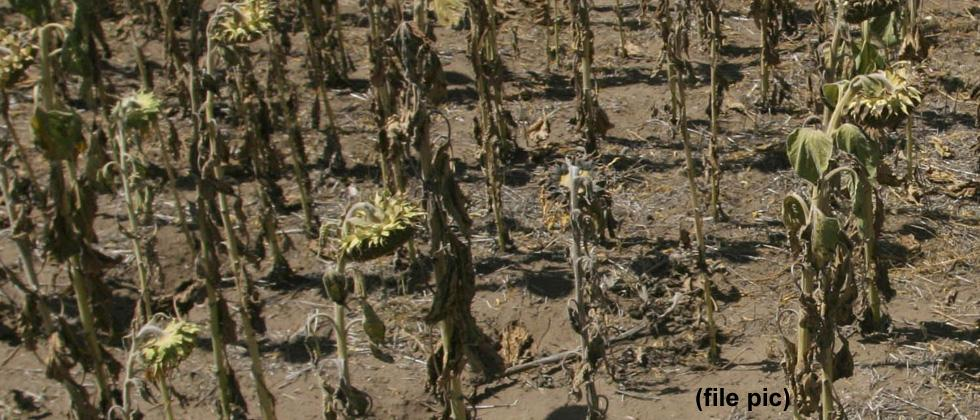Crops drying in east part of Pune dist
