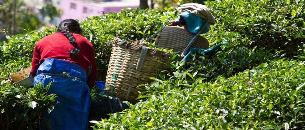 Tripura tea finally gets a brand