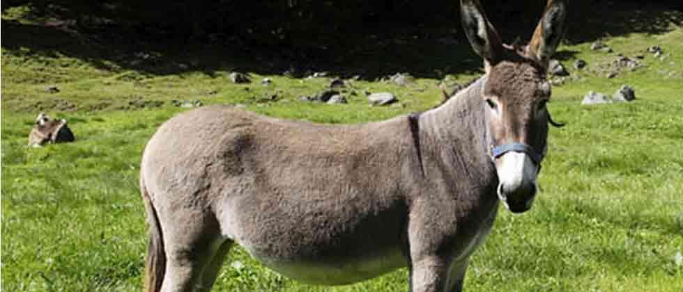 Pak to export donkeys to China