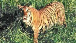 Tigress charges at tourist vehicle in TATR buffer zone