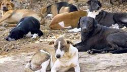 Corporators sceptical of PMC's stray dog control programme