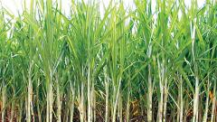 Reduction in FRP arrears of sugarcane, says report