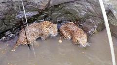 Two leopards rescued from uncovered well