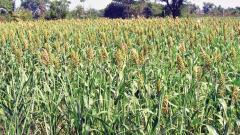 Delayed monsoon may hit production of moong, urad