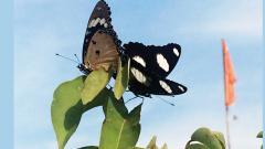 Bid to make butterflies more local