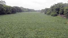 Hyacinth destroying rich biodiversity