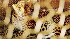 Three-year-old leopard rescued